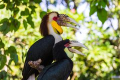 Virvlad Hornbillfågel i den Bali ön Indonesien arkivbilder