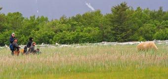 Visão do urso de Alaska Brown olá! no louro Foto de Stock Royalty Free