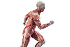 Visão running da anatomia do homem ilustração do vetor