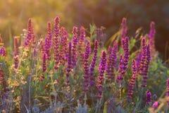 Vis blomma för skogsmark i sommarmorgonsolljus Royaltyfria Bilder