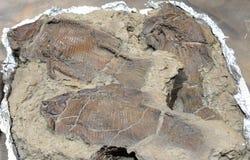 Vis fossiel Royalty-vrije Stock Afbeeldingen