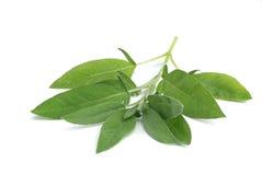 Vis leaf 07 Arkivfoto