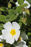 Vis man-leaved Cistus Arkivbilder