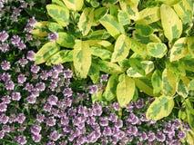 Vis mansidor och blomningtimjan Royaltyfri Fotografi