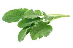 Vis mansidor som isoleras på vit bakgrund green leaves arkivfoto