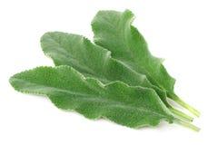 Vis mansidor som isoleras på vit bakgrund green leaves arkivfoton