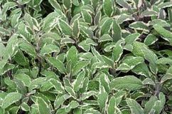 Vis manväxter med purpurfärgade stammar arkivbilder