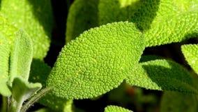 Vis medicinalväxt och krydda arkivfilmer