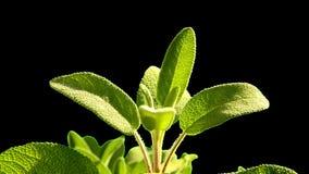 Vis medicinalväxt och krydda, sidor stock video