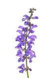 Vis Salvia för äng pratensis Royaltyfria Foton