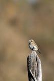 Vis Sparrow, Amphispiza belli Arkivfoto