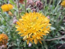 Visa blomman Royaltyfri Fotografi