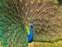 visa fullt den manlig öppnade påfågelsvanen royaltyfria foton