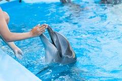 visa med delfin i delfinariet Fotografering för Bildbyråer