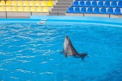 visa med delfin i delfinariet Arkivfoton