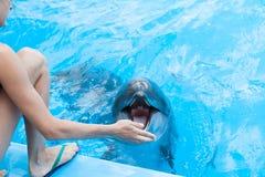 visa med delfin i delfinariet Arkivbilder