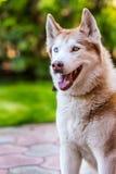 Visage émotif de chien de traîneau sibérien Photos stock