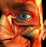 Visage 5 de muscle Image libre de droits