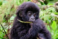 Visage adorable d'un gorille de montagne de bébé Photos stock