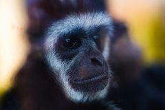 Visage animal de plan rapproché de gibbon de singe, nature image libre de droits