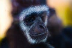 Visage animal de plan rapproché de gibbon de singe, portrait photo stock