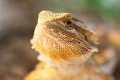 Visage barbu de dragon Photographie stock libre de droits