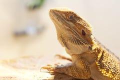 Visage barbu de dragon Image libre de droits