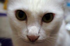 Visage blanc de chat Image libre de droits