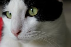 Visage blanc et noir de bourdonnement de couleur de chat pour des animaux familiers Image stock