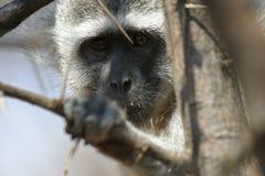 Visage bleu africain de singe Photographie stock