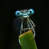 visage bleu de libellule Images libres de droits
