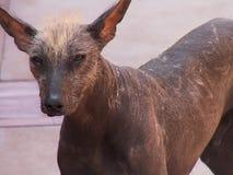 Visage chauve péruvien de chien Photo libre de droits
