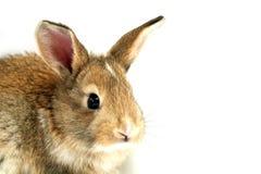 Visage curieux de lapin Image libre de droits