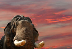 Visage d'éléphant asiatique, ou Indien Images libres de droits