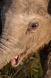 Visage d'éléphant de bébé avec la bouche ouverte Photographie stock