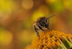 Visage d'abeille image libre de droits