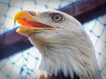 visage d'aigle de sua, oiseau de rapace Photos libres de droits