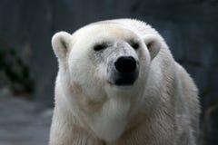 Visage d'ours blanc Photo libre de droits