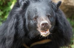 Visage d'ours noir asiatique dans la forêt avec le fond vert images libres de droits