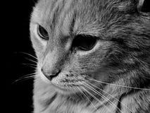 Visage d'un chat Image libre de droits