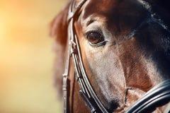 Visage d'un cheval de baie avec le plan rapproché brun de yeux photos libres de droits