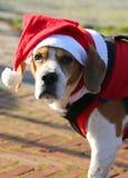 Visage d'un chien mignon avec de longues oreilles avec le chapeau de Santa Claus image stock