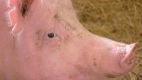 Visage d'un porc banque de vidéos