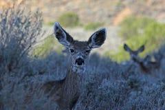 Visage de cerfs communs de mule Images libres de droits
