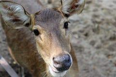 Visage de cerfs communs photo stock