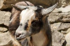 Visage de chèvre Image libre de droits