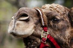 Visage de chameau avec la rêne photo stock