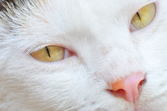Visage de chat Photographie stock libre de droits