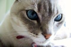 Chat avec des yeux bleus Image libre de droits