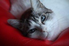 Visage de chat avec des yeux bleus Images stock